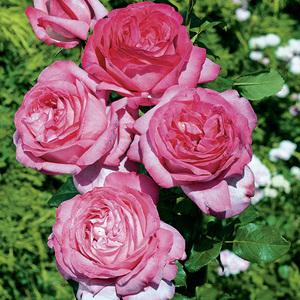 Rosier Vol de Nuit coloris rose parfum fruité en pot de 3 L 293362