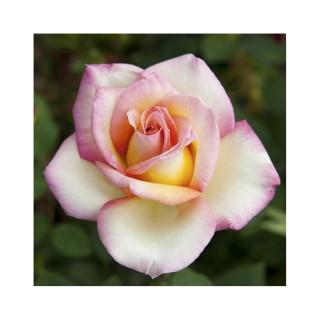 Rosier Sweet Eureka coloris jaune pastel parfum épicé en pot de 3 L 294205