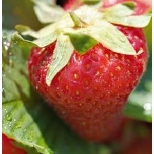 Fraisier Cirafine. La barquette de 4 plants 294346