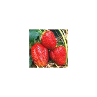 Fraisier Manille. La barquette de 4 plants 295617
