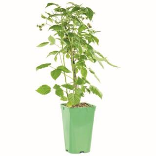 Framboisier Marastar Fuchsia biologique en pot de 2 L 295626