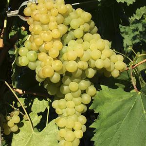 Vigne Exalta en conteneur de 2 L 295633