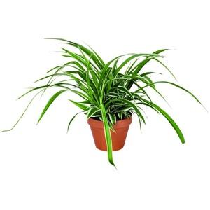 Chlorophytum – Pot en terre 14 cm de diamètre 296304