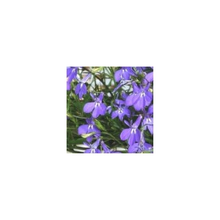 Lobélia retombants. La jardinière de 50 cm 296714