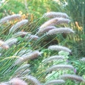 Pennisetum Alopecuroides Hameln. Le pot de 7 litres 297268