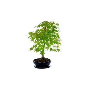 bonsai acer palmatum deshojo