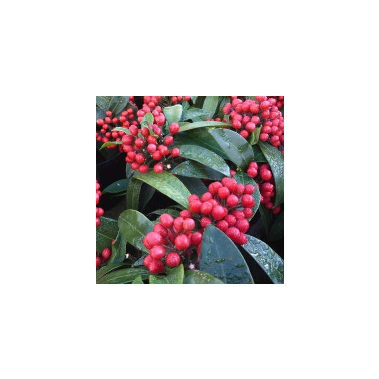 Skimmia fruit rouge en pot de 1 L 203059