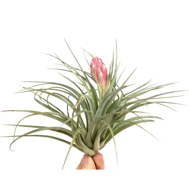 Tillandsia silver vert avec fleur 10 cm 208268