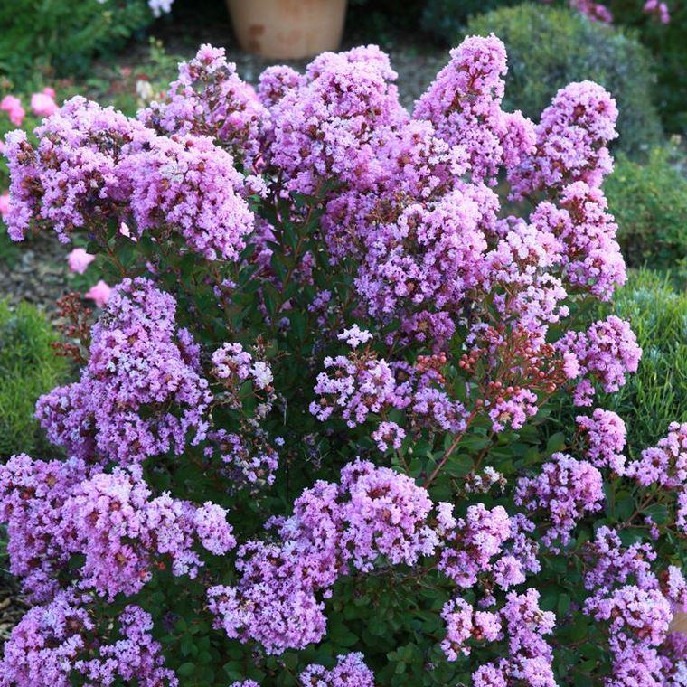 Lagerstroemia Indica With Love Eternal violet. Le pot de 4 litres 211690