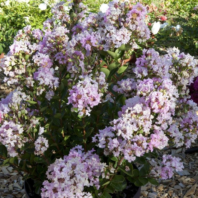Lagerstroemia Indica With Love Babe Milarosso. Le pot de 4 litres 211878