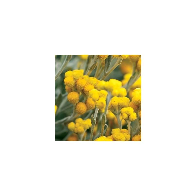 Chrysocephalum. Le pot de 2 litres