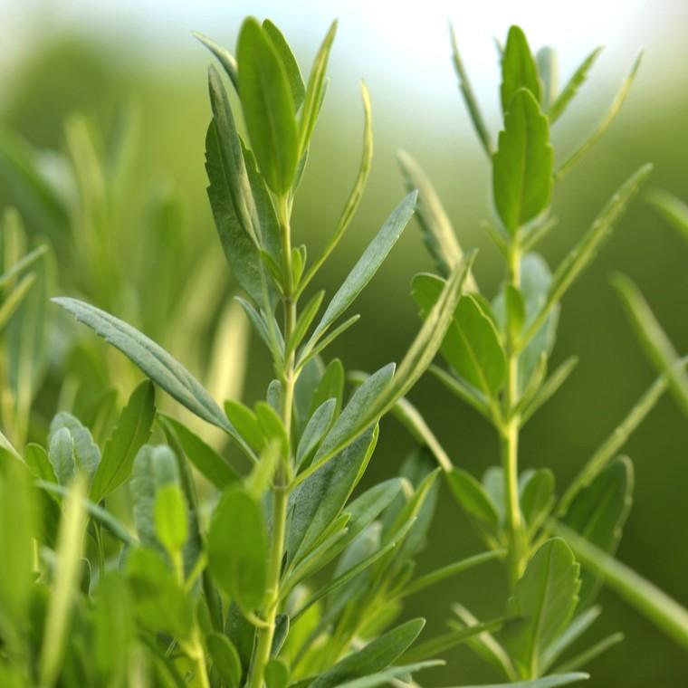 Plante répulsive Hyssopus bio. Le pot de 12 cm 217338