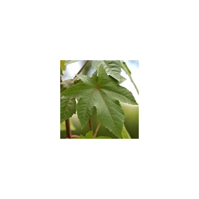 Plante répulsive Ricin bio. Le pot de 12 cm 217341