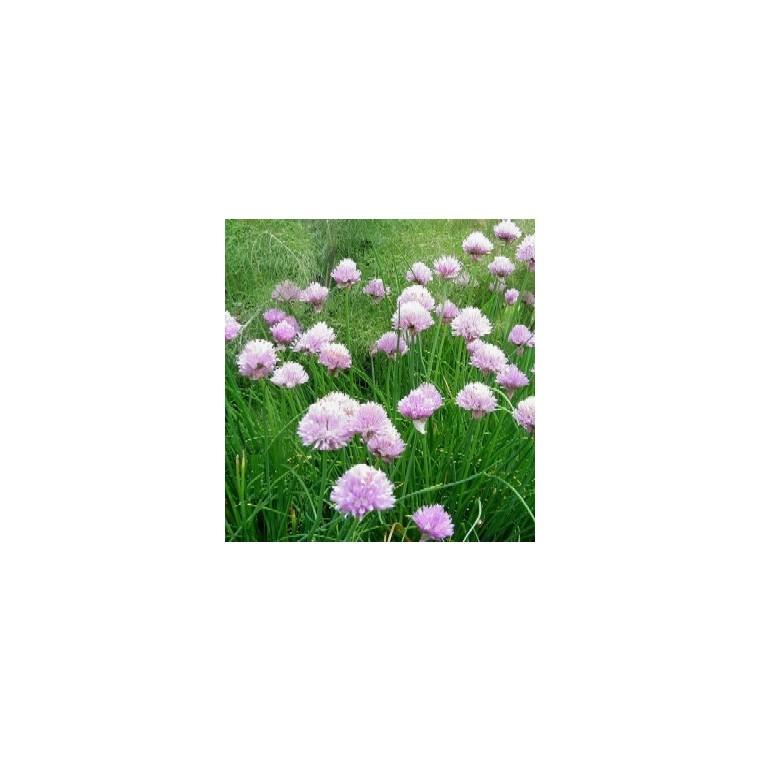 Plante répulsive Allium bio. Le pot de 12 cm 217343