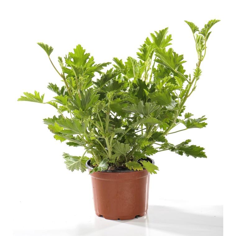 Plante répulsive Pelargonium bio. Le pot de 12 cm 217346
