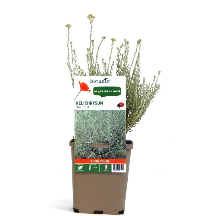 Helichrysum Italicum. Le pot de 9 x 9 cm