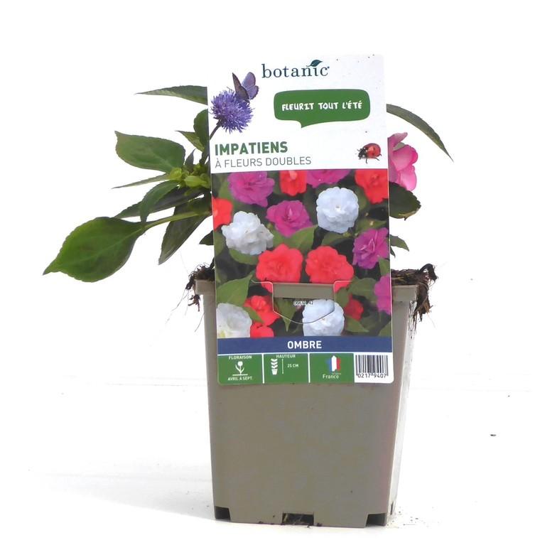 Impatiens à fleurs doubles. Le pot de 9 x 9 cm