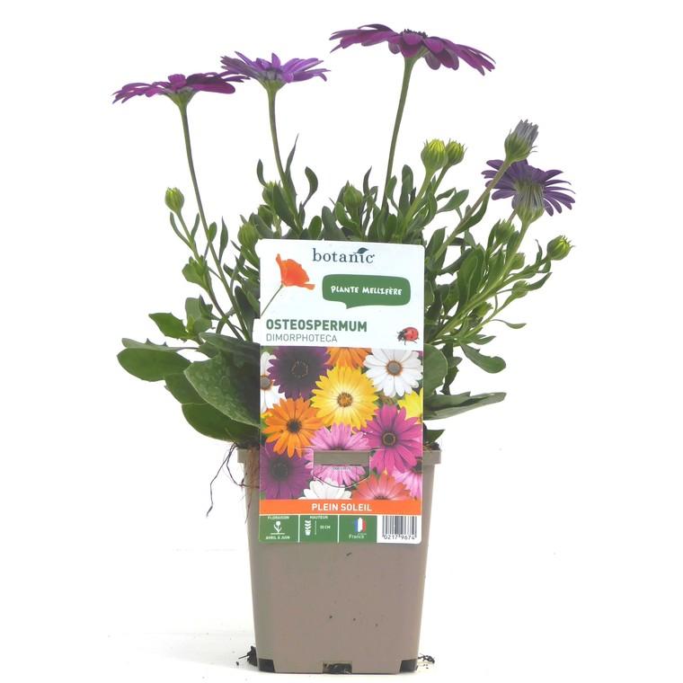 Osteospermum. Le pot de 9 x 9 cm 217967