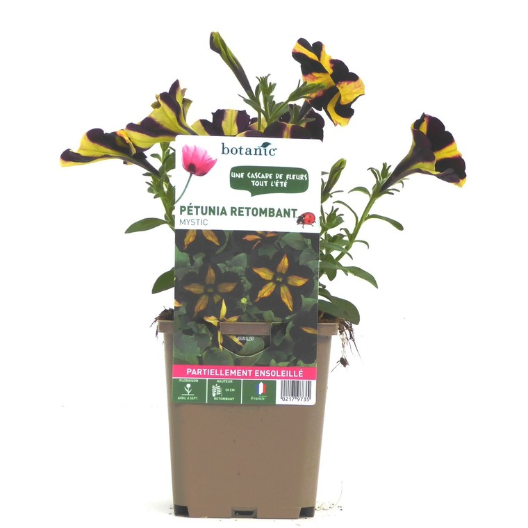 Pétunia mystic noir et jaune. Le pot de 9 x 9 cm 217973