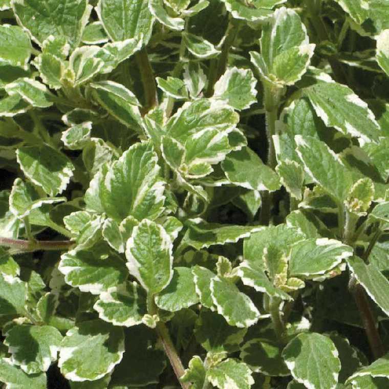 Plectranthus. Le pot de 9 x 9 cm 217980
