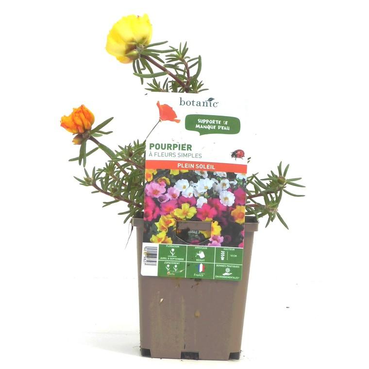 Pourpier à fleurs simples. Le pot de 9 x 9 cm