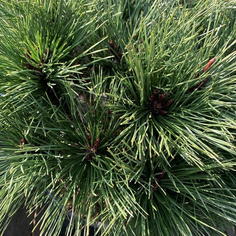 Pin (Pinus) Nigra Brepo 1/4 tige. Le pot de 9 litres 218886