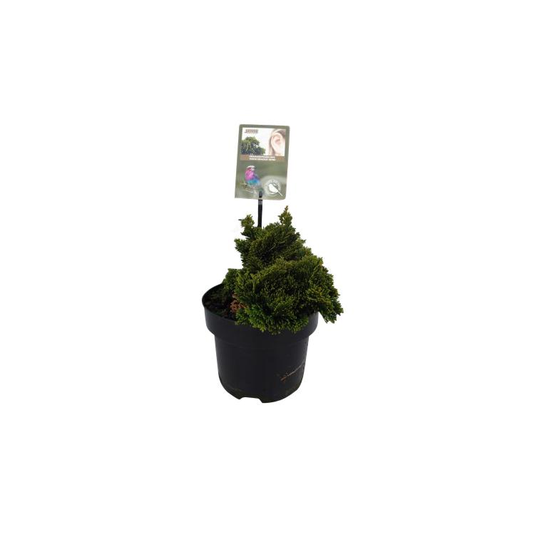 Chamaecyparis Obtusa Nana Gracilis en pot de 2 L 218887