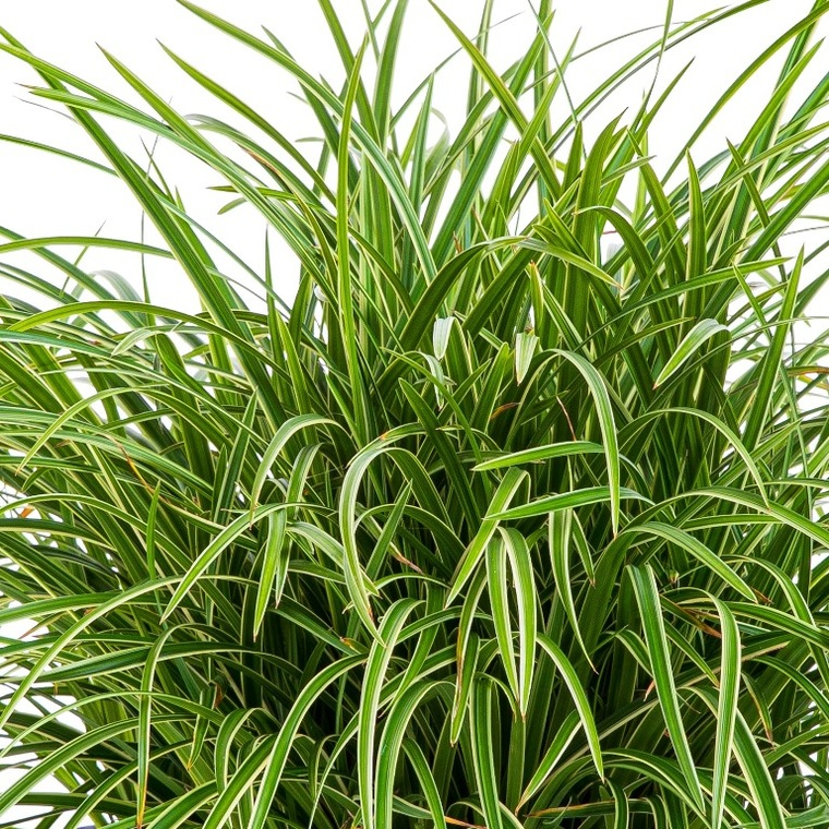 Carex oshimensis evergreen® 218896