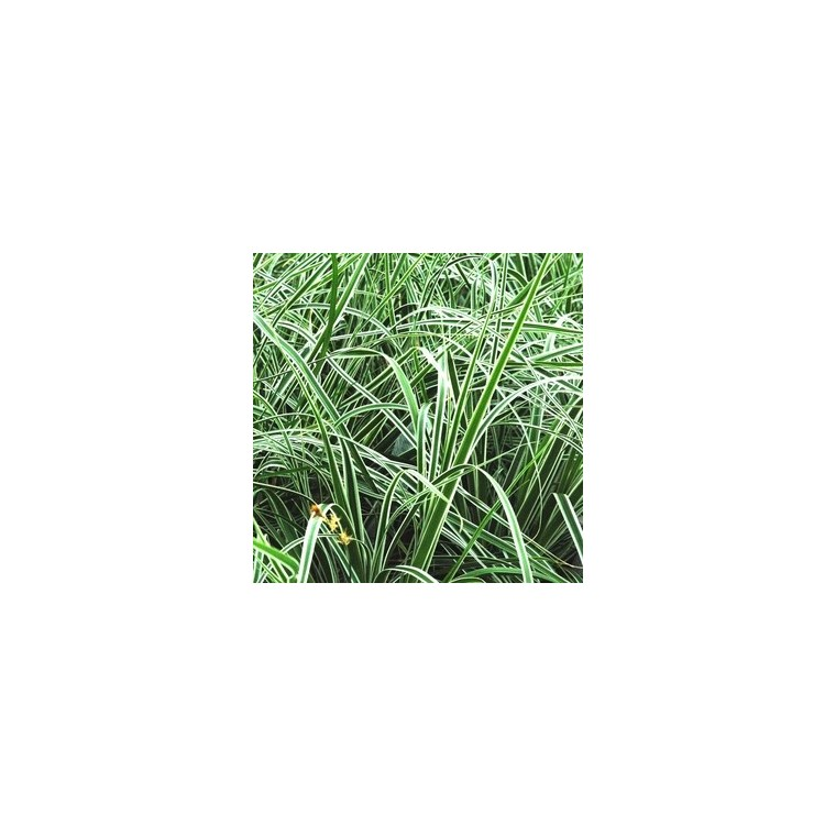 Laîche ou Carex Oshimensis Everest en pot de 2 L