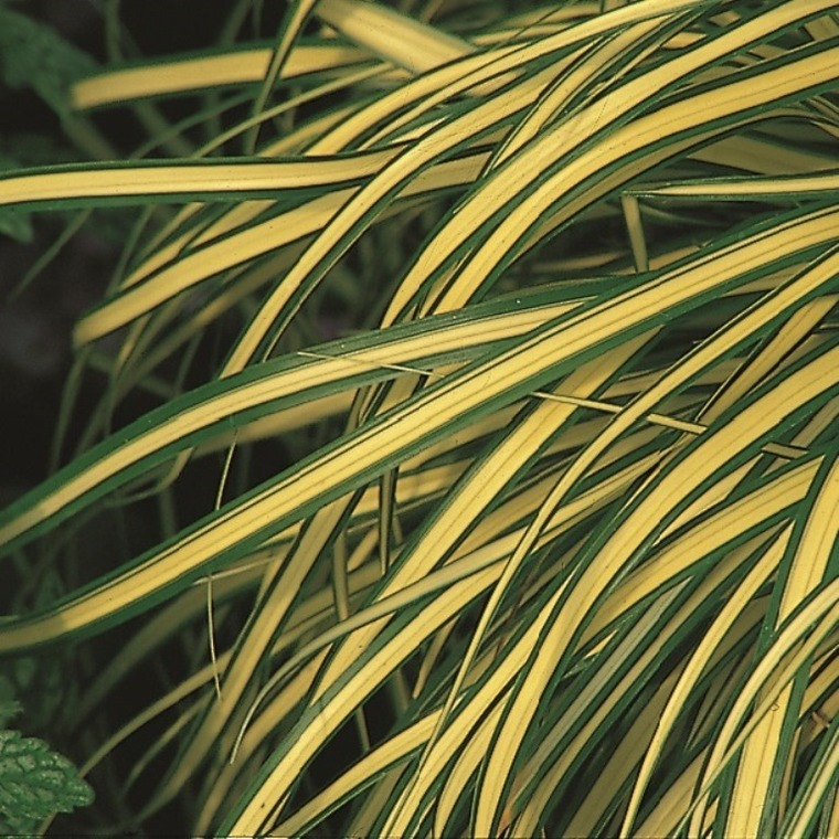 Carex Oshimensis Evergold jaune en pot de 2 L 218898