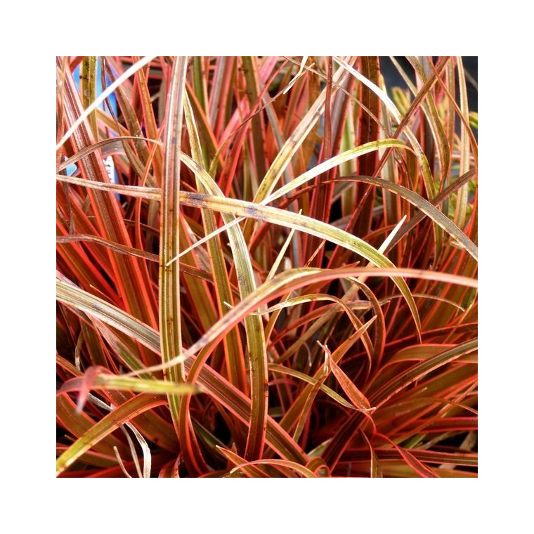 Uncinia Rubra Everflame rouge en pot de 2 L 218903