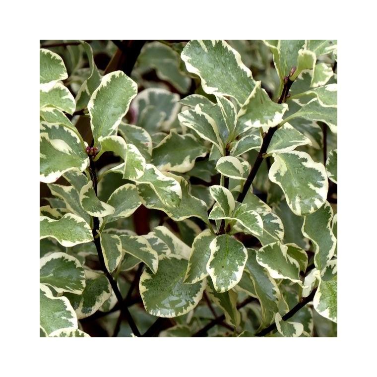 Pittosporum Tenuifolium Gold Star en pot de 2 L