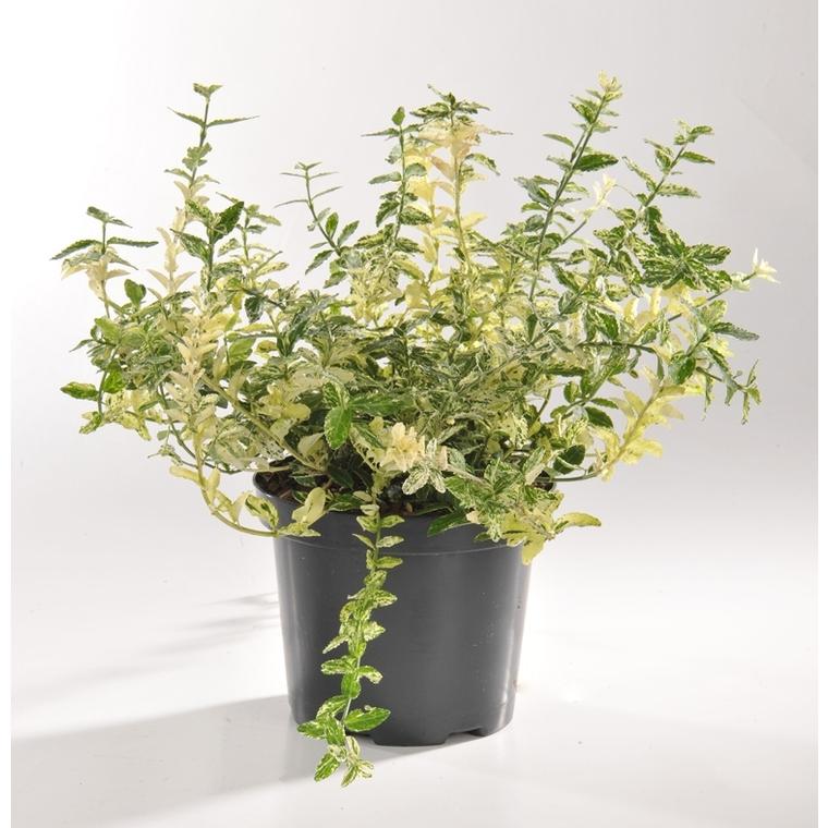 Euonymus Fortunei Harlequin (Fusain) en pot de 5 L blanc 218925