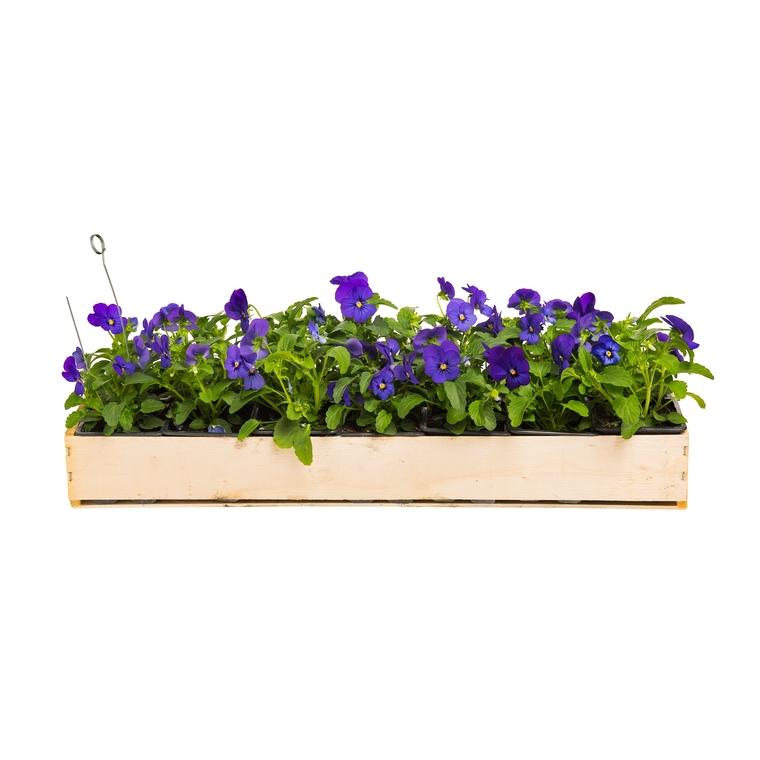 Viola Cornuta. La cagette de 14 plants 221416