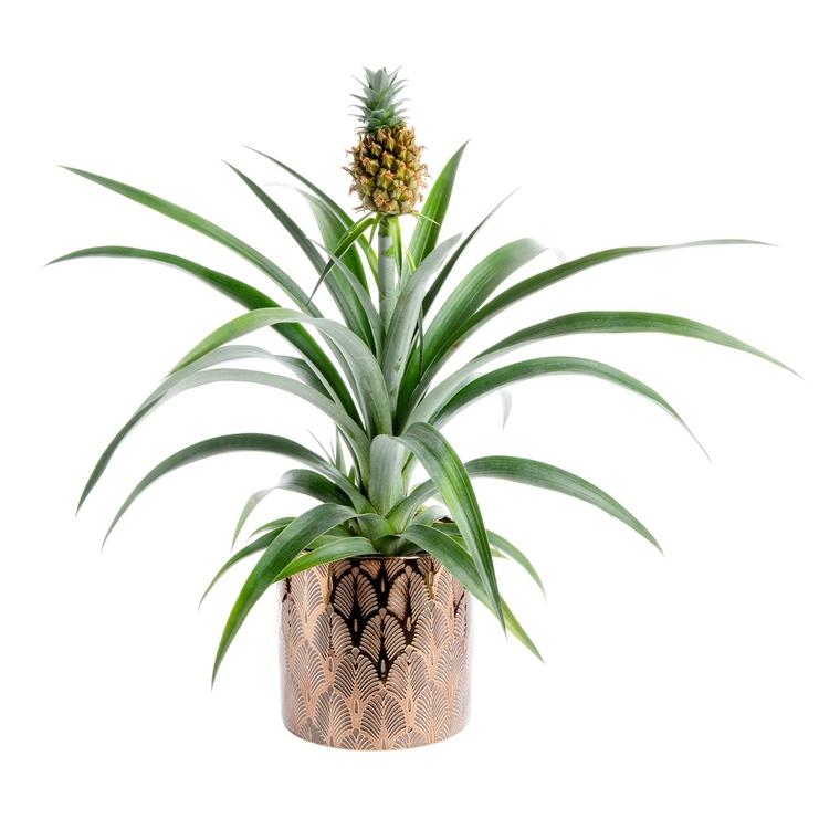Ananas avec cache pot en céramique Ø12cm 221831