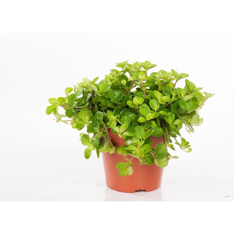 Peperomia rotundifolia 221861