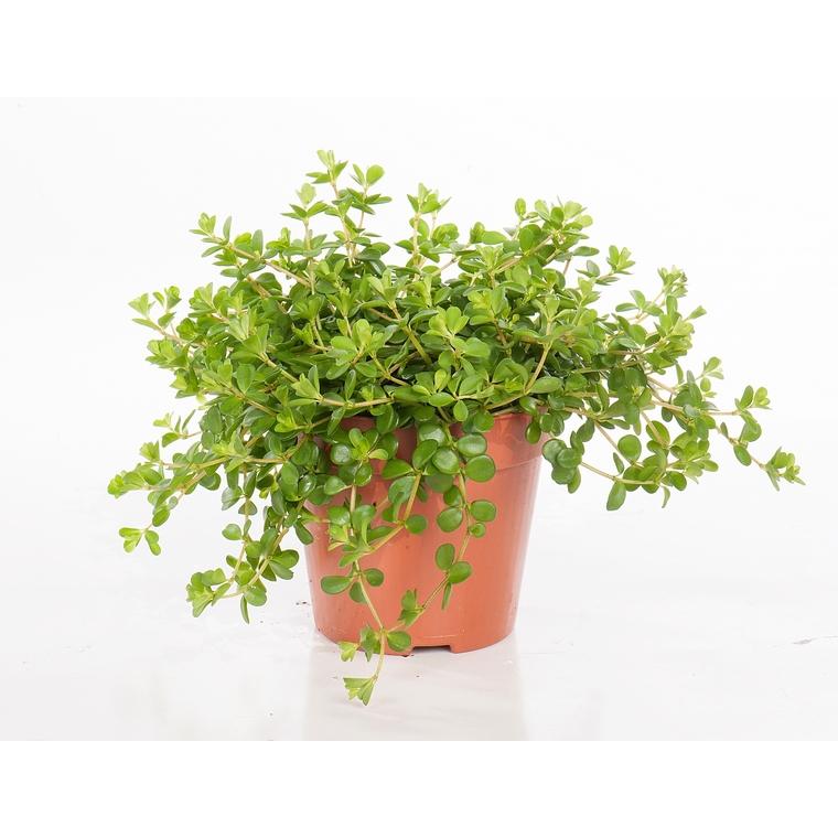 Peperomia rotundifolia 221886