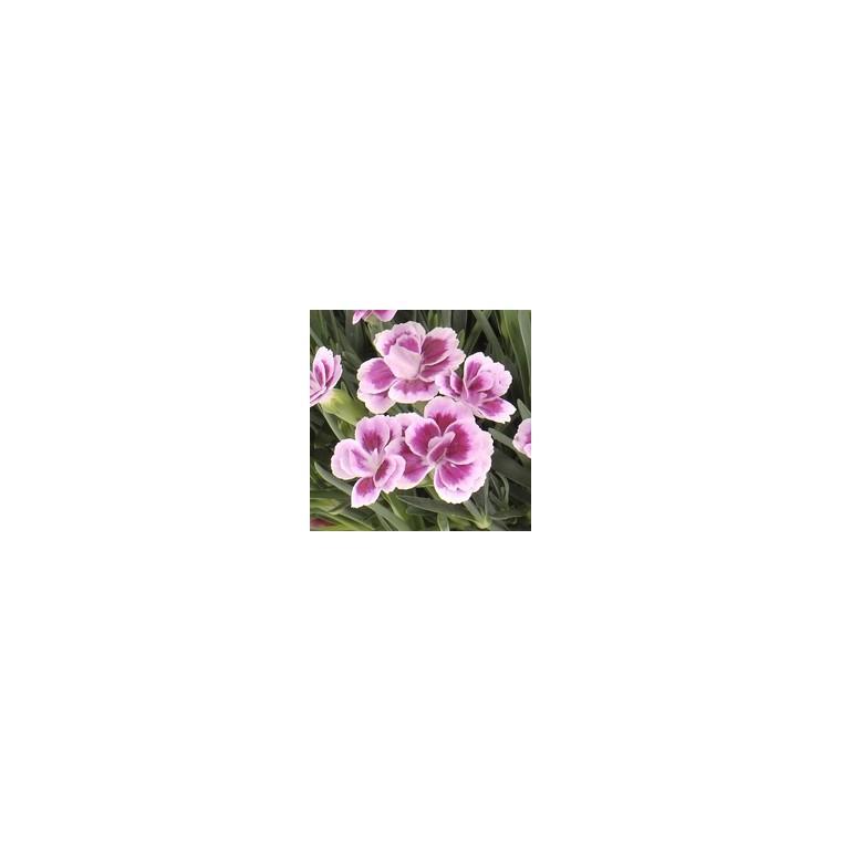 Dianthus Pink Kisses. Le pot de 1 litre 255001