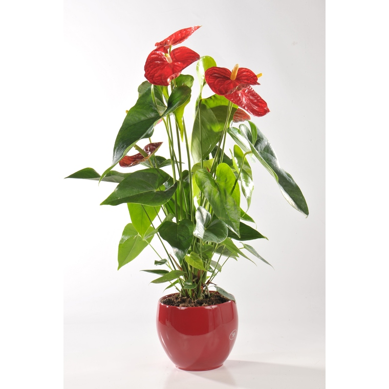 ANTHURIUM DAKOTA + CP