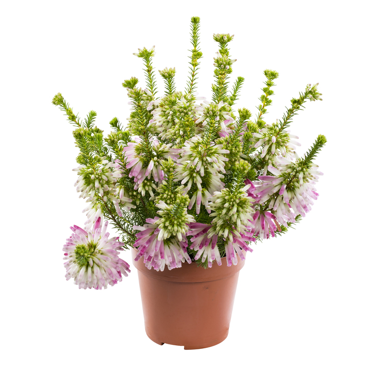 Erica Verticillata. Le pot de 10.5 cm 222147