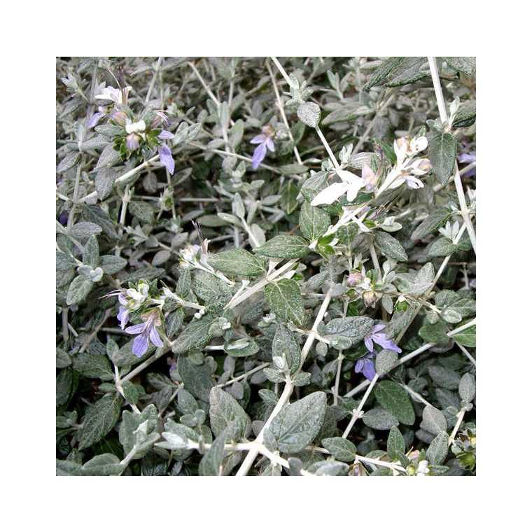 Germandrée arbustive bleue - Pot de 3L