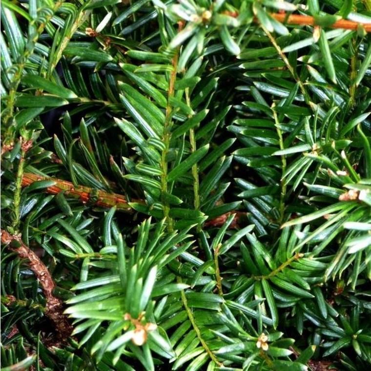 Taxus Baccata Boule en pot de 18 L 222560