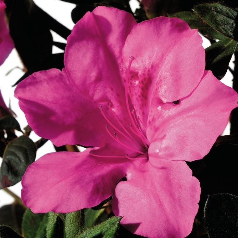Azalée (Azalea) Encore rose. Le pot de 4 litres 222617