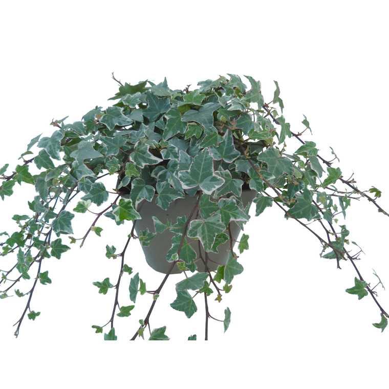 Lierre varié en pot de 3 litres (doublon) 229893