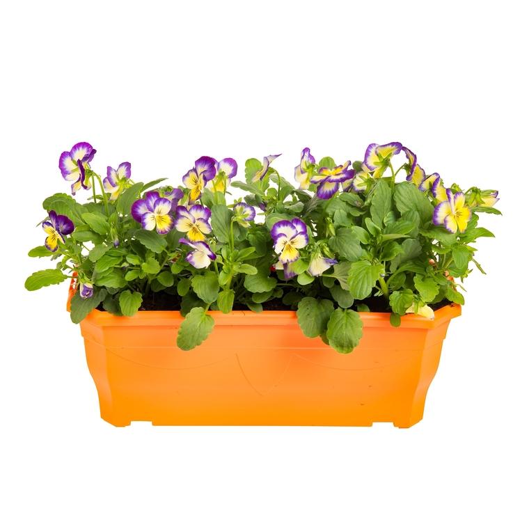 Viola Cornuta. La jardinière de 30 cm 231435