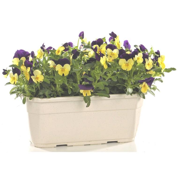 Viola cornuta multicolore en jardinière de 30 cm