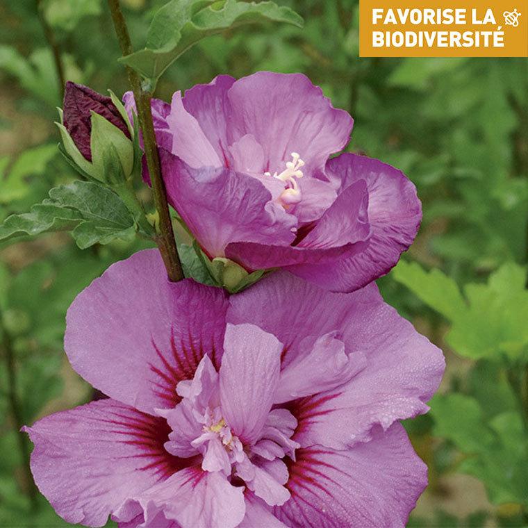 Althéa rose - Pot de 7L 231545
