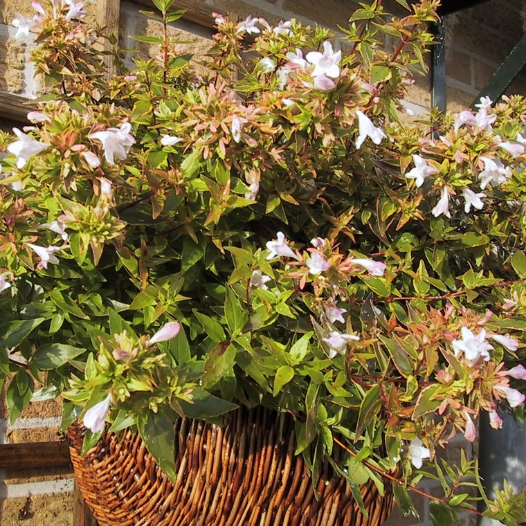 Abélia Grandiflora Happy Daydream rose. Le pot de 4 litres 232741