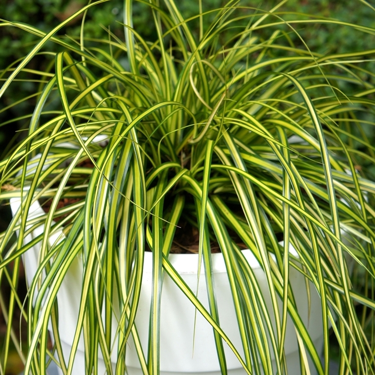 Carex Oshimensis Eversheen en pot de 4 L 232950