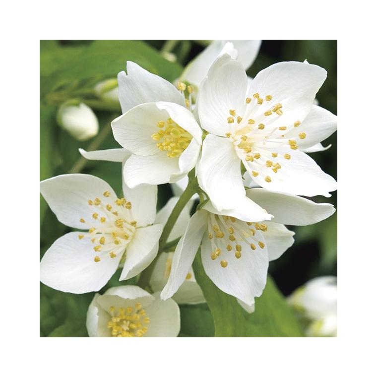 Seringat blanc - Pot de 3L 233053
